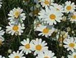 天然除虫菊母液